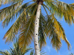 gaten van spechten in de palmboom